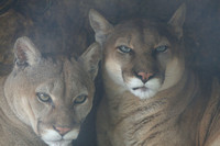 Mountain Lions (captive animals)