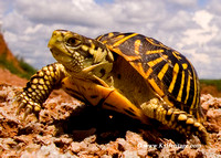 OrnateBoxTurtle_2