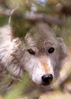 Grey Wolf photographed in Colorado (captive)